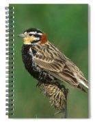 Chestnut-collared Longspur Spiral Notebook
