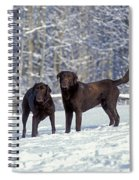 Chocolate Labrador Retrievers Spiral Notebook