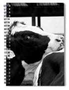 Cow Just Resting His Chin Spiral Notebook