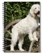 Cream Labradoodle On Wooden Chair Spiral Notebook