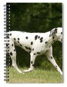 Dalmatian Running Spiral Notebook