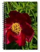 Deep Red Peony With Bright Yellow Stamens  Spiral Notebook