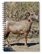 Desert Bighorn Sheep Ewe With Radio Spiral Notebook