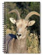 Desert Bighorn Sheep Zion National Park Spiral Notebook