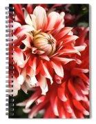 Flower-dahlia-red-white-trio Spiral Notebook