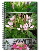 From Bud To Bloom - Cleome Named Pink Queen Spiral Notebook