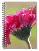 Gerbera Daisy Named Raspberry Picobello Spiral Notebook