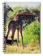 Giraffes On Savanna Eating. Safari In Serengeti Spiral Notebook