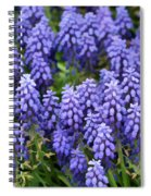 Grape Hyacinth At Thanksgiving Point - 1 Spiral Notebook