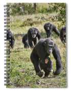 group of Common Chimpanzees running Spiral Notebook