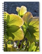 Helleborus Backlight Blossoms 2 Spiral Notebook
