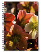Helleborus Backlight Blossoms Spiral Notebook