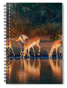 Impala Herd With Reflections In Water Spiral Notebook