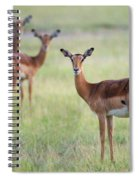 Impalas Aepyceros Melampus Petersi Spiral Notebook
