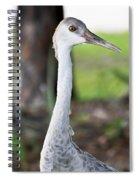 Juvenile Sandhill Crane Grus Canadensis Pratensis I Usa Spiral Notebook