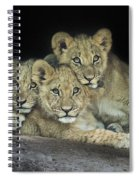Three Lion Cubs Spiral Notebook