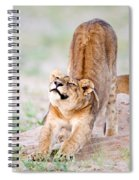 Lioness Panthera Leo Stretching Spiral Notebook