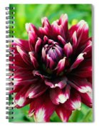 Maroon And White Dahlia Flower In The Garden Spiral Notebook