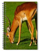 Mature Male Impala On A Lawn Spiral Notebook