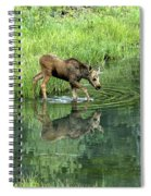 Moose Calf Testing The Water Spiral Notebook