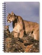 Mountain Lions Felis Concolor Spiral Notebook