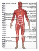 Muscular System In Male Anatomy Spiral Notebook