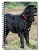 Newfoundland Dog, Standing In Field Spiral Notebook