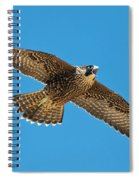 Peregrine Young Screaming For Food Spiral Notebook