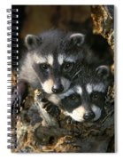 Raccoon Young Procyon Lotor In Tree Spiral Notebook