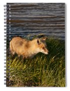 Red Fox Hunting The Edges At Sunset Spiral Notebook