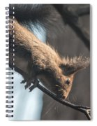 Red Squirrel Licking Dew Droplets  Spiral Notebook