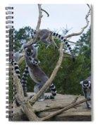 Ring Tailed Lemurs Playing Spiral Notebook