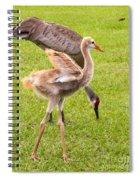 Sandhill Cranes Walking Around Spiral Notebook