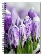 Striped Purple Crocuses In The Snow Spiral Notebook