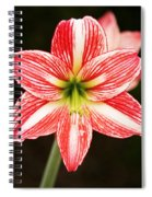 Sweet Lillian Amaryllis Spiral Notebook