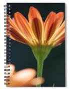 Osteospermum Named Sunadora Palermo Spiral Notebook