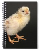 White Leghorn Chick Spiral Notebook