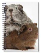 Guinea Pigs Spiral Notebook