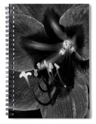 Amaryllis Flower In Black And White Spiral Notebook