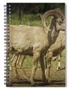 Bighorn Sheep Along A Roadside In The Black Hills Spiral Notebook