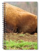 Bison At Rest Spiral Notebook