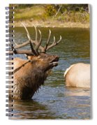 Bugling Bull Elk And 2 Female Cows In Estes Lake  Co Spiral Notebook