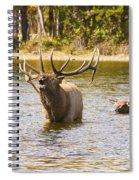 Bugling Bull Elk And Calf Colorado Rut 4 Spiral Notebook