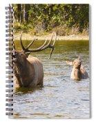 Bugling Bull Elk And Calf Colorado Rut 5 Spiral Notebook
