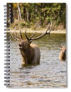 Bugling Bull Elk And Calf Colorado Rut  Spiral Notebook
