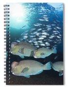 Bumphead Parrotfish Spiral Notebook
