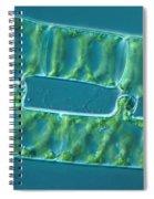 Conjugation In Algae, 2 Of 4 Spiral Notebook
