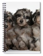 Daxiedoodle Poodle X Dachshund Puppies Spiral Notebook