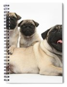 Fawn Pugs, Mother And Pups Spiral Notebook