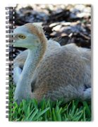 Juvenile Sandhill Crane At Rest Spiral Notebook